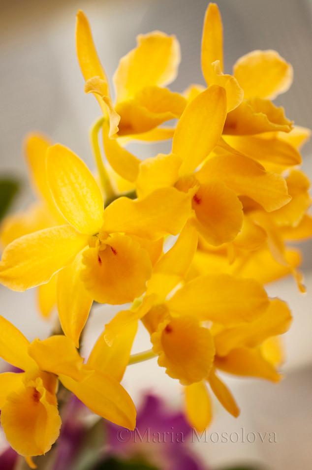 Dendrobium Fancy Yellow