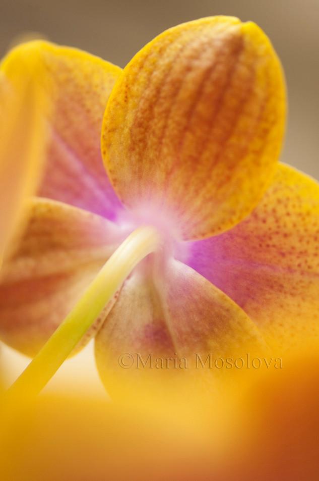 Phalaenopsis Sogo Lawrence 'F1982'  Flower