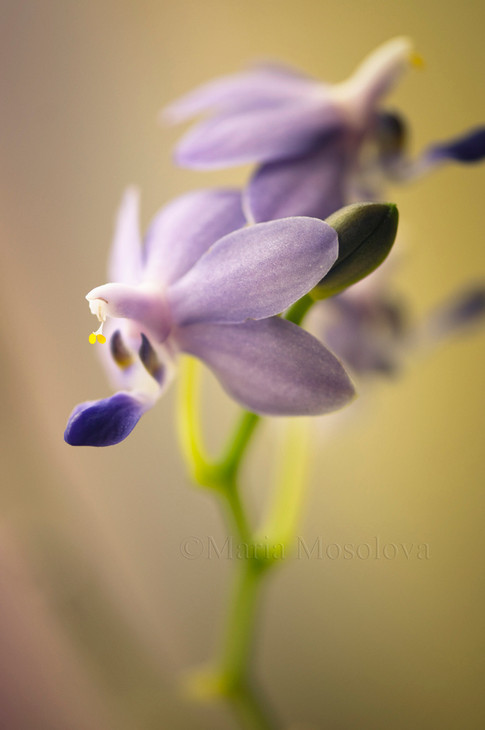 Purple Marting Orchid Flowering Inflorescence