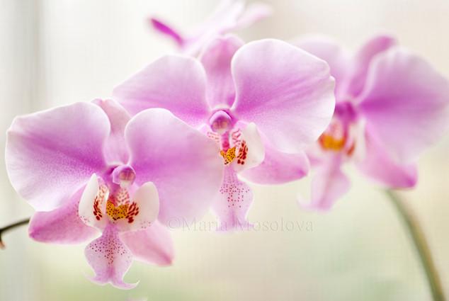 Phalaenopsis schilleriana 'Fragrant Butterfly' x