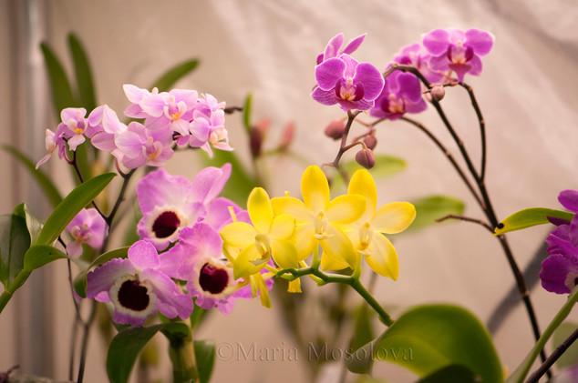 Dendrobium Angel Love 'Pink Sapphire'