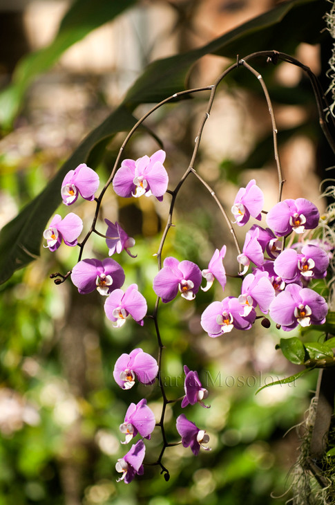 Phalaenopsis Hilo Lip