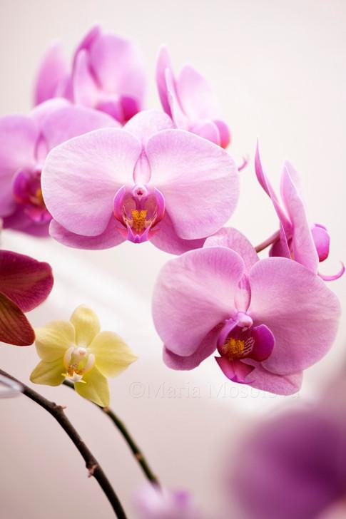 Phalaenopsis Orchid Taida Momoko