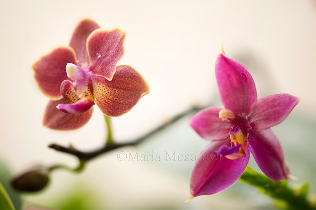 Flower Close-up of Phalaenopsis Orchid Cesario Gene Tobia