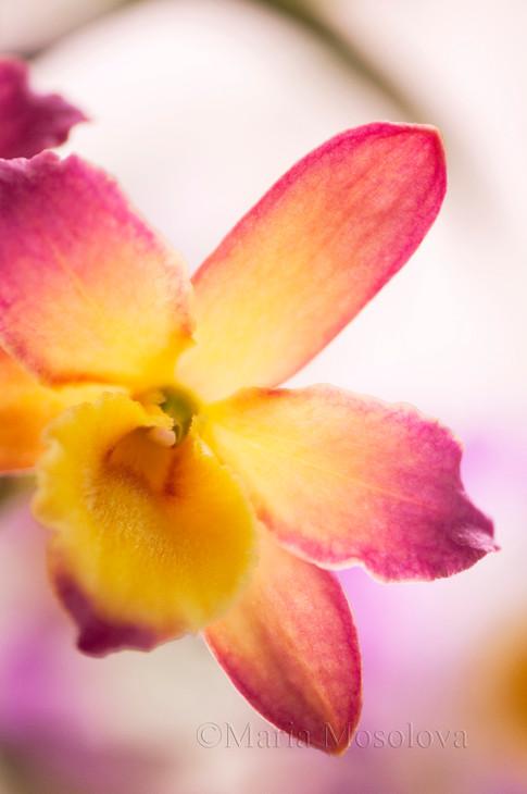 Dendrobium Oriental Smile 'Fantasy'