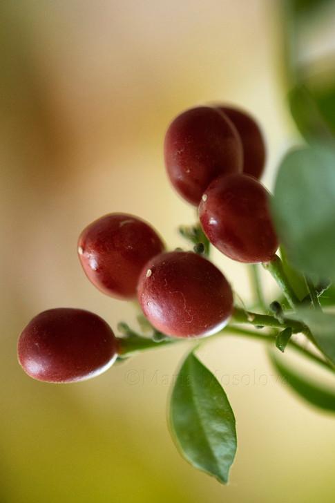 Murraya red ripe berries