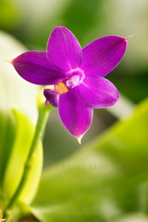 Phalaenopsis violacea flower