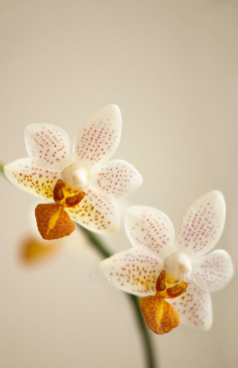 Phalaenopsis Orchid Mini Mark 'Holm'