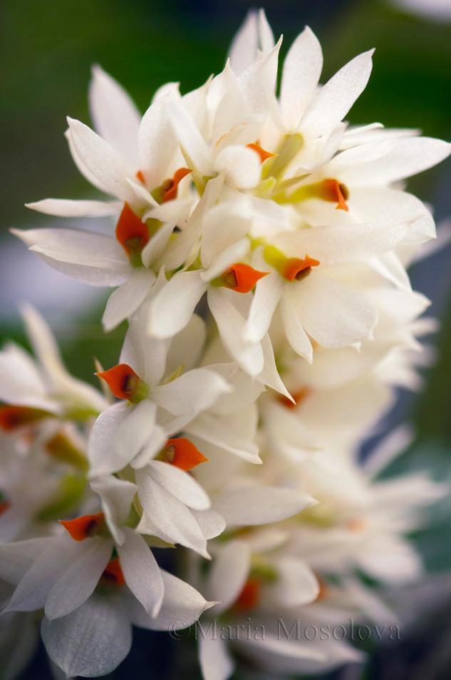 dendrobium bracteosum orchid flowers. Dendrobium bracteosum 'White Cloud'