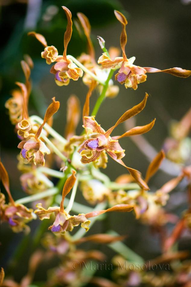 Curly Flowers of Orange Brown With Purple Lips Dendrobium Tangerinum