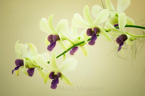 Dendrobium hybrid Woon Leng