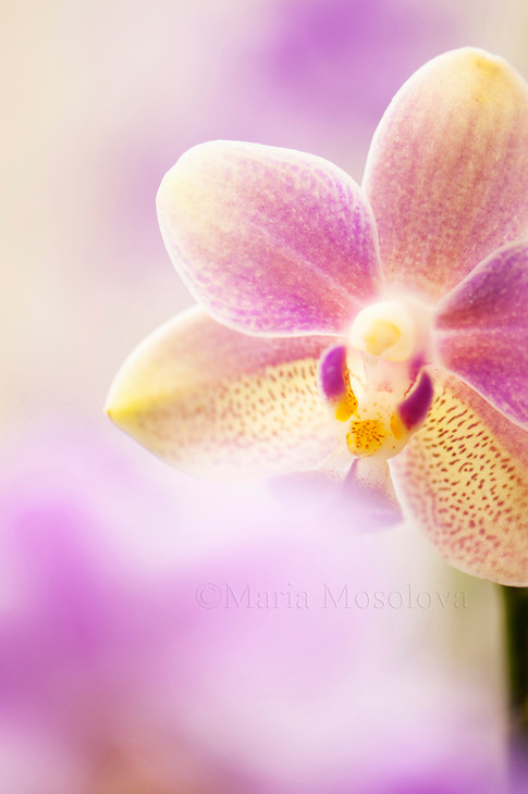 PhalaenPhalaenopsis Orchid Tzu Chiang Balm 'OT0076'