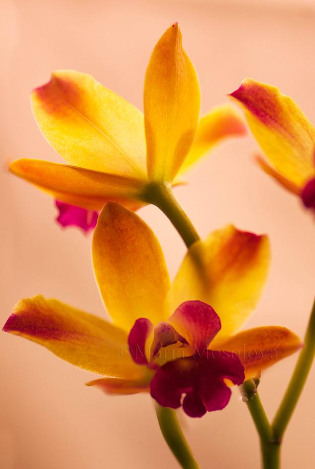 Mini Cattleya Orchid Newberry Ruby Flowers