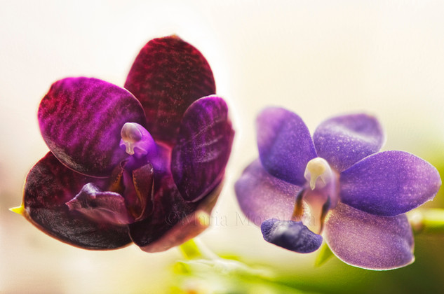 Fragrant Phalaenopsis Orchids Purple Martin and Black Centra