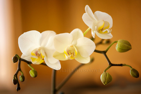 Clear White Phalaenopsis Rothschildiana 'Oriental Beauty'