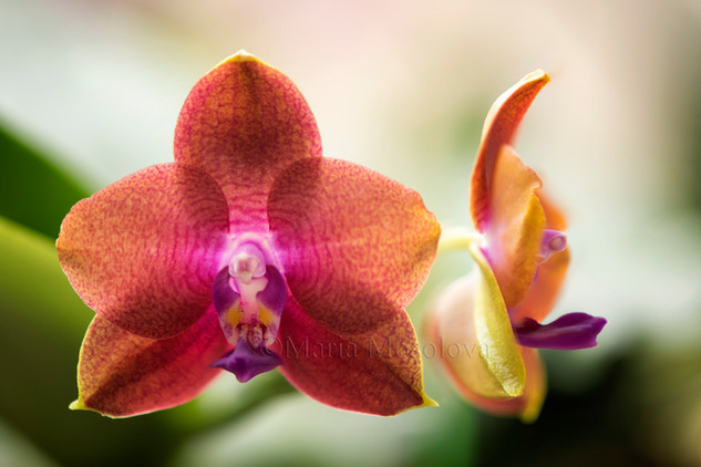 Phalaenopsis ((Sogo Lawrence x TS Wonder) 'Round' X Mituo King Bellina 'Pylo #1')