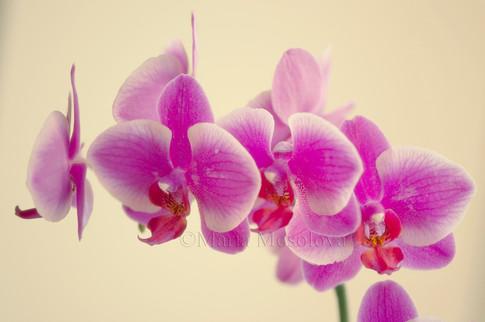 Phalaenopsis orchid Hybridizer's Dream