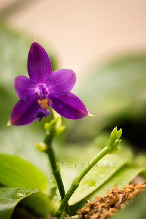Phalaenopsis violacea inflorescences