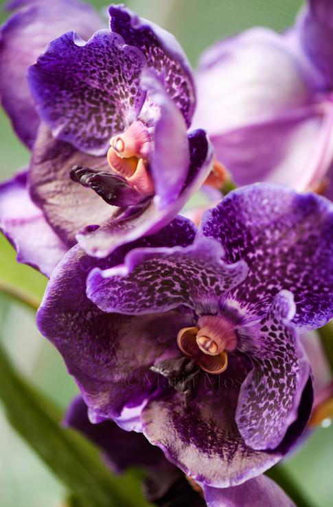 Vanda Orchid Pure's Wax 'Blue'
