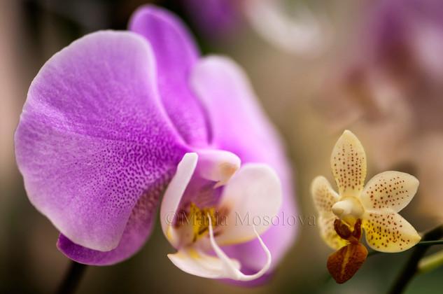 Phalaneopsis Hilo Lip 'Newberry' x Phal Mary Brooks 'Mendenhall' AM/AOS and Phalaenopsis Mini Mark 'Holm'