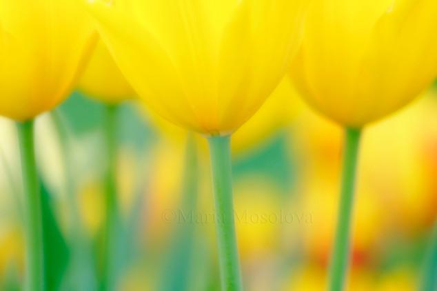 Among yellow tulips