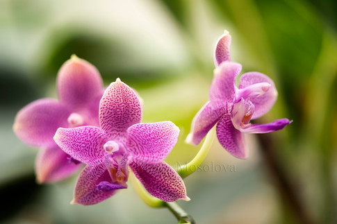 Phalaenopsis AL Little Queen