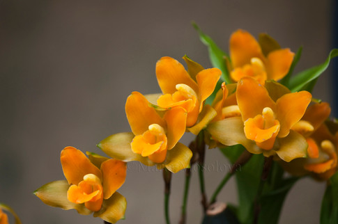 Lycaste cochleata