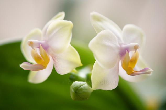 Phal. Memoria Laela 'Sweet Fragrance' HCC/AOS