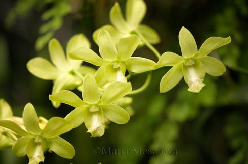 Dendrobium Burana Green
