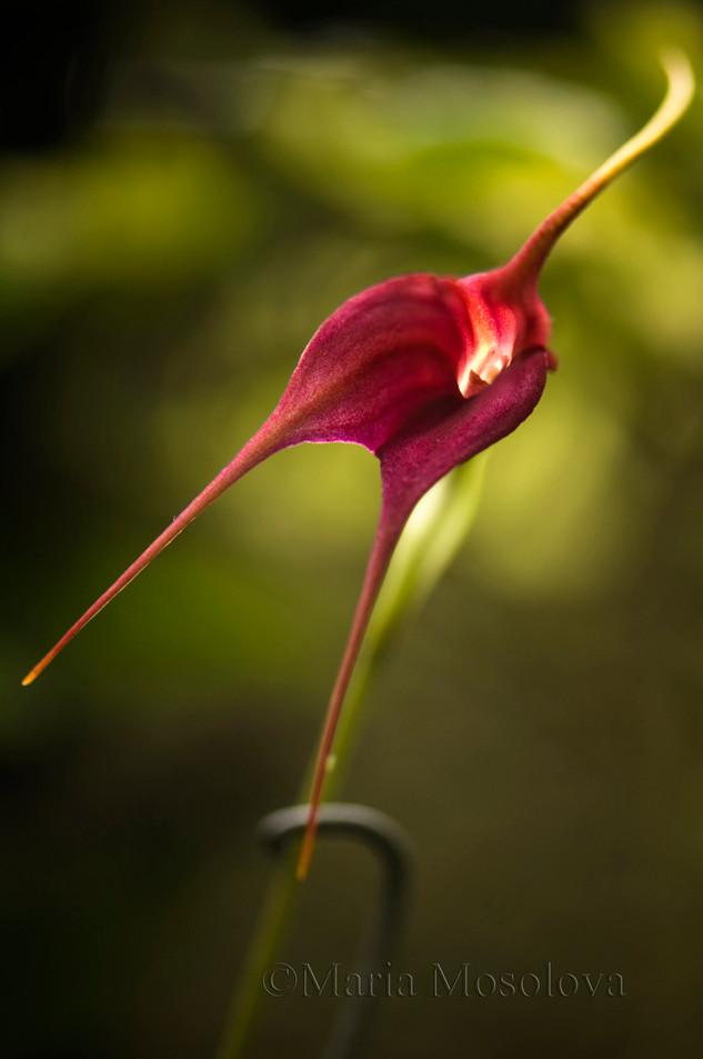 Masdevilla Orchid hybrid