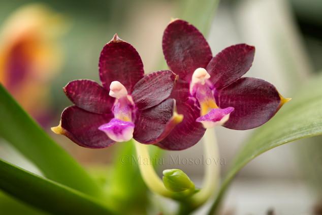 Phalaenopsis Valentinii 'Red'