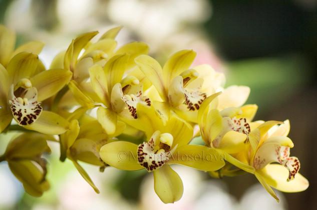 Yellow Green Cymbidium Orchid Flowers