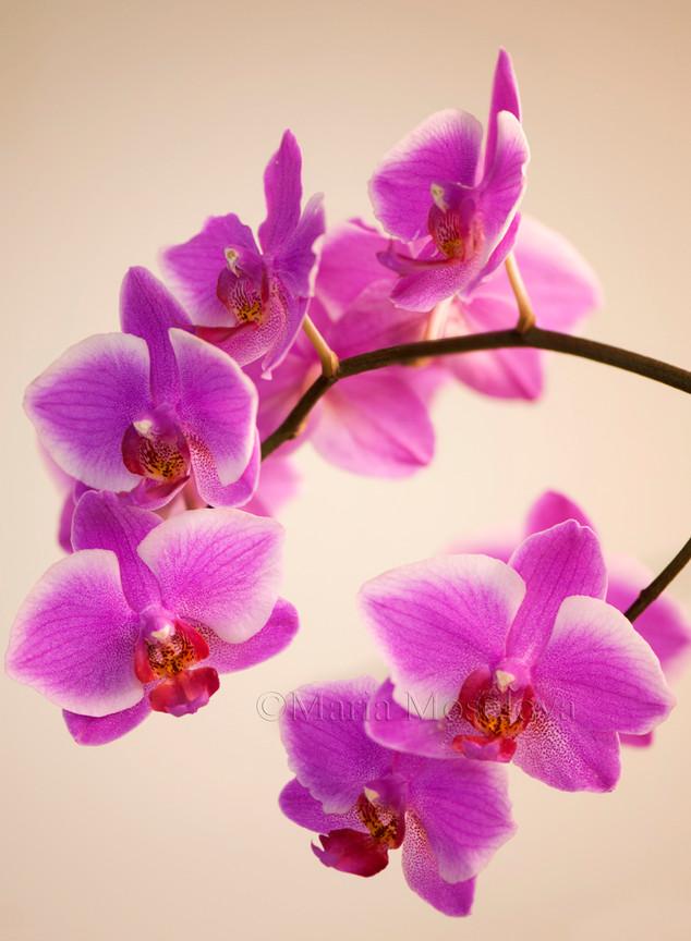 Flowers of Phalaenopsis orchid Hybridizer's Dream 'Carmela'