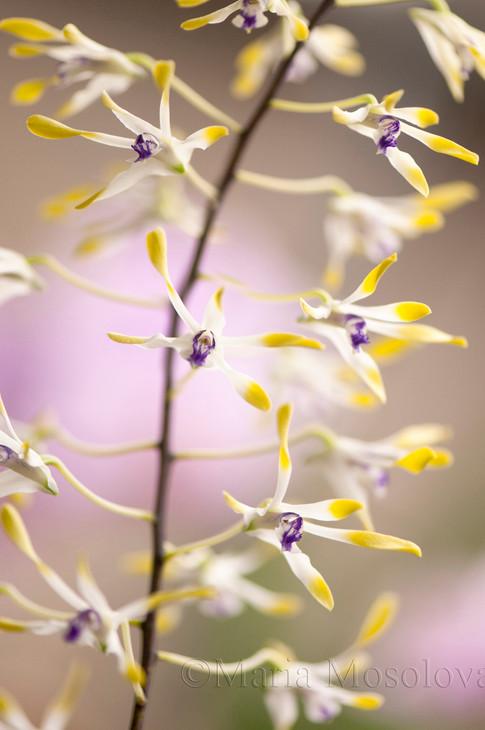 Dendrobium canaliculatum orchid
