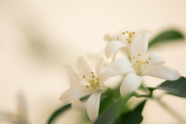 Murraya flower group