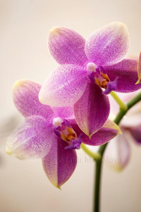 Phalaenopsis Sweet Memory Liodoro