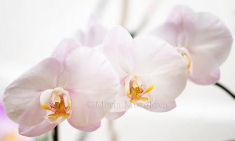 Phalaenopsis Maki Watanabe 'Star Smile'
