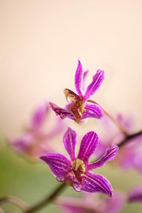 Two Flowers of Phalaenopsis Orchid San Shia Swan