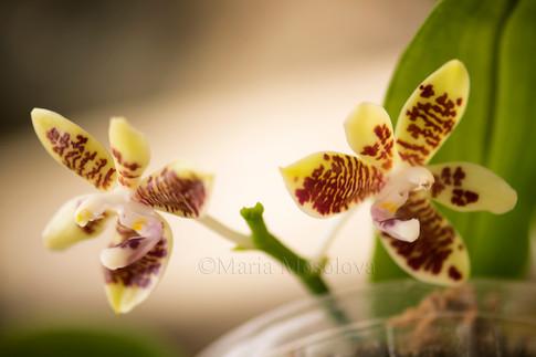 Phalaenopsis inscriptiosinensis