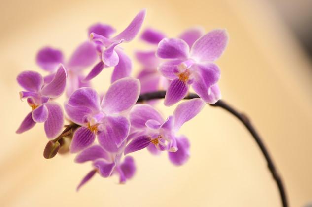 Phalaenopsis primary hybrids