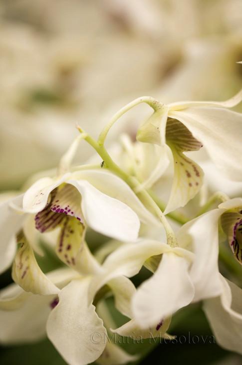 Orchid Dendrobium Roy Tokunaga