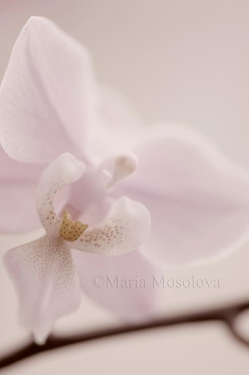 Phalaenopsis Jiaho's Pink Girl 'Sweet Fragrance'