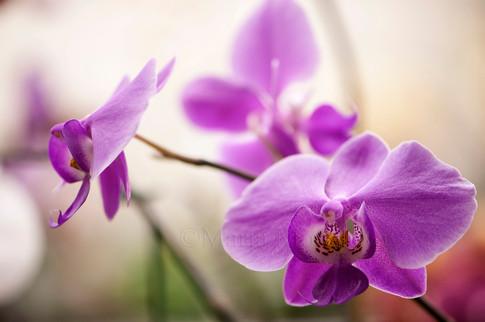 Phalaenopsis schilleriana cross in bloom