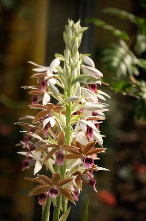 Phaius tankervillae. Nun's Orchid