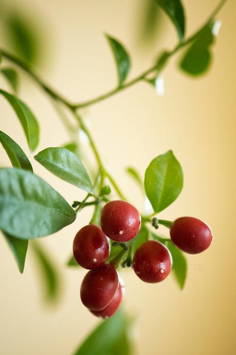 Red berries on murraya plant