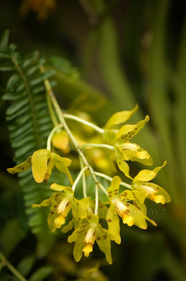 Ansellia Orchid