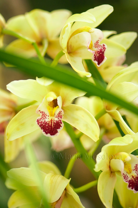 Yellow Green Flowers of Cymbidium Orchid