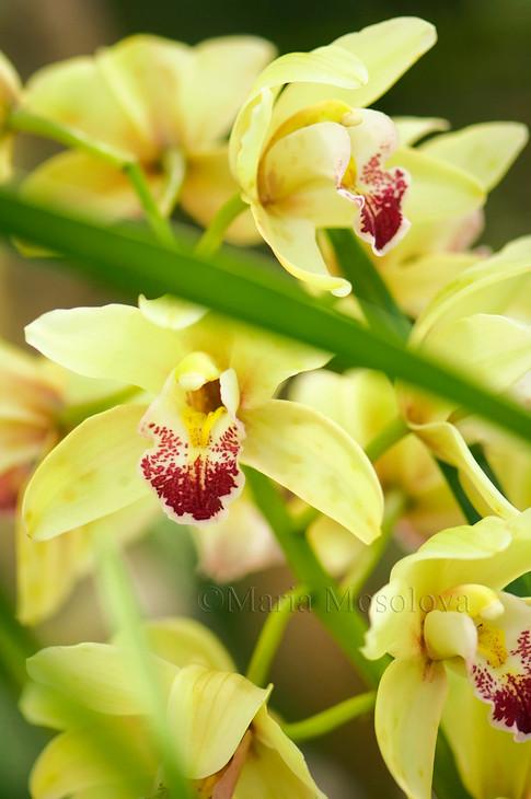 Yellow Green Flowers of Cymbidium Orchid