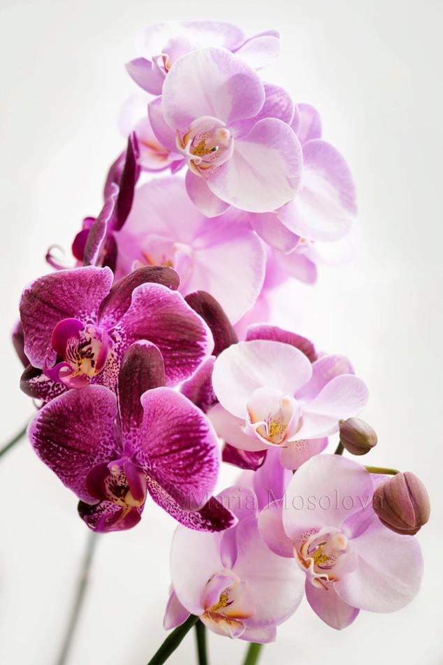 Phalaenopsis Wen Ming Rainbow 'Fantastic' and phalaenopsis  OX Formosa Beauty 'Picotee'