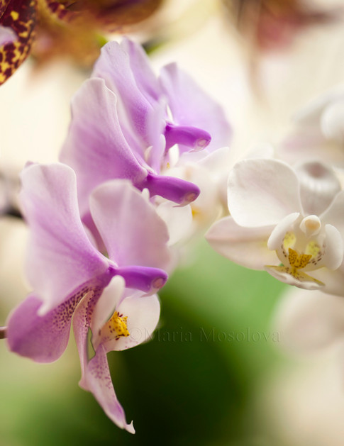 Three flowers of Phalaenopsis schilleriana 'Fragrant Butterfly' orchid  and one flower of  Doritaenopsis Newberry Snowdrops 'Bouquet' orchid